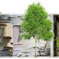 Seve-birch